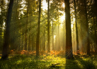 forest-trees-pine-trees-the-light-rays small